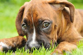 Domestic Animal Services